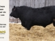 black-angus-bull-for-sale-5433_8529