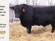 black-angus-bull-for-sale-5433_8531