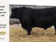 black-angus-bull-for-sale-5433_8540
