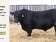 black-angus-bull-for-sale-5433_8542