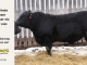 black-angus-bull-for-sale-5433_8549