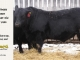 black-angus-bull-for-sale-5433_8551