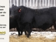 black-angus-bull-for-sale-5433_8552
