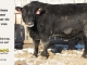 black-angus-bull-for-sale-5446_7998