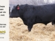 black-angus-bull-for-sale-5452_8534
