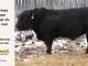 black-angus-bull-for-sale-5458_8478
