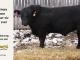black-angus-bull-for-sale-5458_8479
