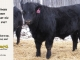 black-angus-bull-for-sale-5467_8470