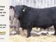 black-angus-bull-for-sale-5494_8441