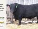 black-angus-bull-for-sale-5494_8442