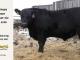 black-angus-bull-for-sale-5505_8484