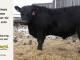 black-angus-bull-for-sale-5505_8485
