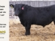 black-angus-bull-for-sale-5517_8490