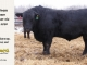 black-angus-bull-for-sale-5520_8493