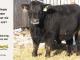 black-angus-bull-for-sale-5527_8009