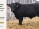 black-angus-bull-for-sale-5562_8505