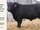 black-angus-bull-for-sale-5562_8506