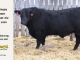 black-angus-bull-for-sale-5563_8450