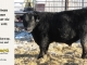black-angus-bull-for-sale-5592_8006
