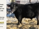 black-angus-bull-for-sale-5592_8007