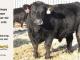 black-angus-bull-for-sale-5592_8014