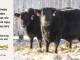 black-angus-bull-for-sale-5593_5421