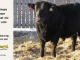 black-angus-bull-for-sale-5593_8011