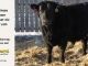 black-angus-bull-for-sale-5593_8013
