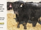 black-angus-bull-for-sale-5594_8001