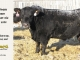 black-angus-bull-for-sale-5594_8002