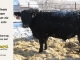 black-angus-bull-for-sale-5594_8003
