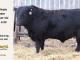 black-angus-bull-for-sale-5598_8445