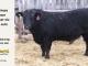 black-angus-bull-for-sale-5602_8448