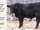black-angus-bull-for-sale-5609_8477