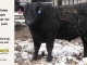 black-angus-bull-for-sale-5609_8482