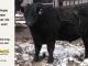 black-angus-bull-for-sale-5609_8483