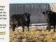 black-angus-bull-for-sale-5615_5618_8020