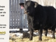 black-angus-bull-for-sale-5618_8019
