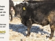 black-angus-bull-for-sale-5629_8004