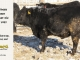black-angus-bull-for-sale-5629_8005
