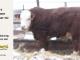 H-2-bull-for-sale-hereford-simmental-fleckvieh-hybrid-1---_8132