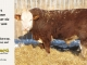 H-2-bull-for-sale-hereford-simmental-fleckvieh-hybrid-1400_8113