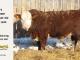 H-2-bull-for-sale-hereford-simmental-fleckvieh-hybrid-1400_8114