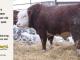 H-2-bull-for-sale-hereford-simmental-fleckvieh-hybrid-1400_8130