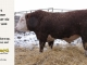 H-2-bull-for-sale-hereford-simmental-fleckvieh-hybrid-1400_8134