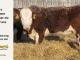H-2-bull-for-sale-hereford-simmental-fleckvieh-hybrid-1442_8106