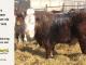 H-2-bull-for-sale-hereford-simmental-fleckvieh-hybrid-1442_8108