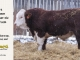 H-2-bull-for-sale-hereford-simmental-fleckvieh-hybrid-1483_8126
