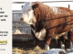 H-2-bull-for-sale-hereford-simmental-fleckvieh-hybrid-1502_8111