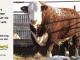 H-2-bull-for-sale-hereford-simmental-fleckvieh-hybrid-1502_8112